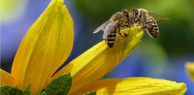Honey Bee (Pixabay - no credit requiered)