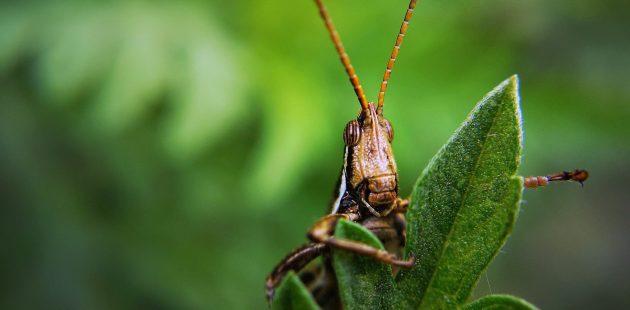 locust credit Dom Alberts Pixabay