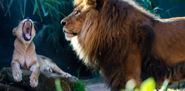 Lions: Image by Sherilyn Hawley from Pixabay