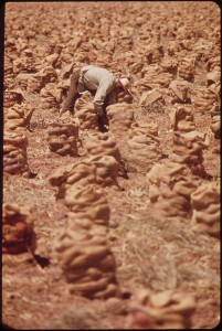 A farm worker ties bags of onions. (National Archives)