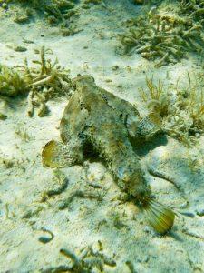 Bahamas batfish 8 - Davida G. Breier