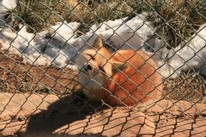 Romeo the Fox.